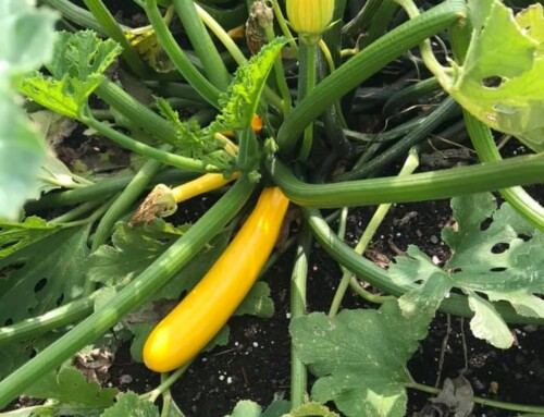 The gardens are still growing despite the cooler weather last week. Yellow zucch…